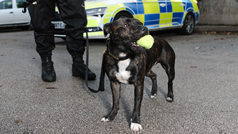 Staffy Rescue Dog Becomes One Of The First Of Its Breed To Join UK Police Force