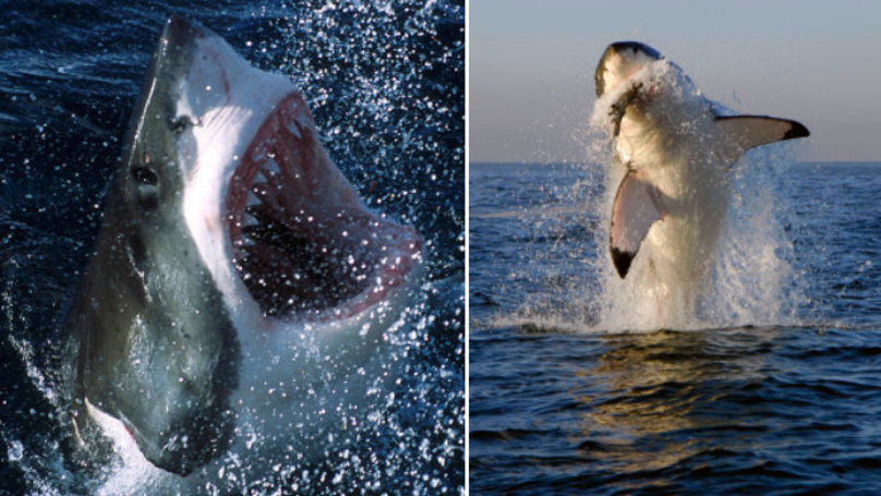 Great White Sharks Could Be On Their Way To The UK Very Soon