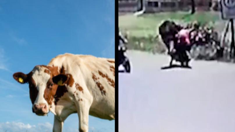 Kung Fu Cow Kicks Unsuspecting Woman Off Her Bike