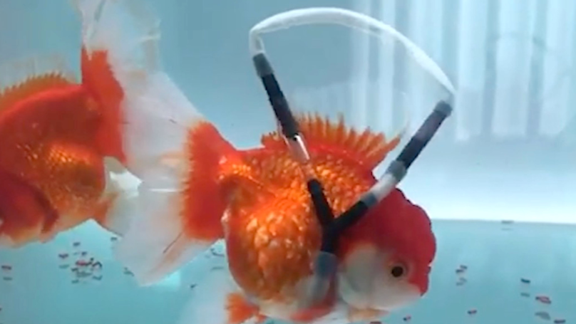 Animal Lover Creates 'Wheelchair' For Disabled Goldfish