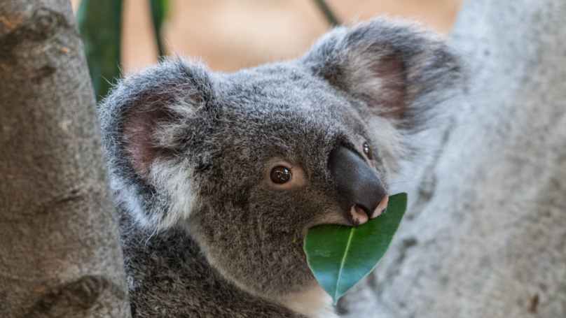 Research Suggests That Koalas Are Now 'Functionally Extinct' In The Wild