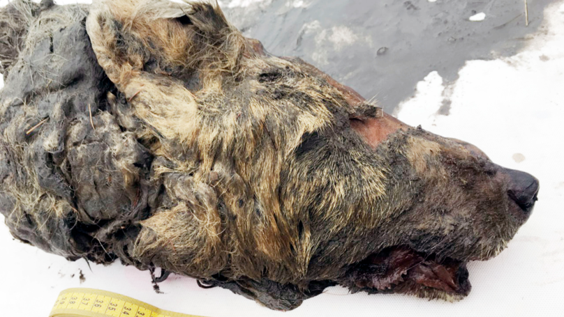 Scientists Discover Frozen Severed Head Of 40,000-Year-Old Siberian Wolf