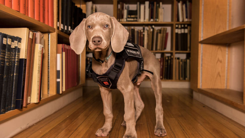Boston's Museum Of Fine Arts Just Got A Puppy As An Amazing Security Guard