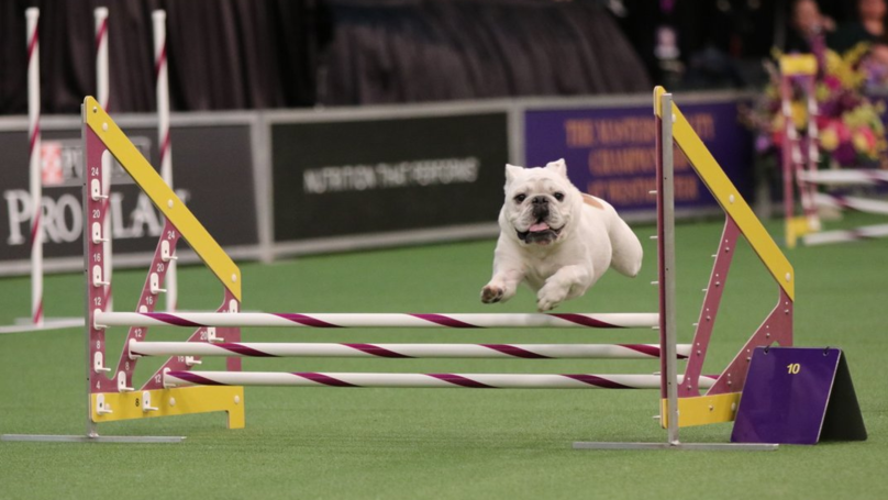 ​Rudy The Bulldog Defies Breed's Stereotypes With Speedy Agility Run