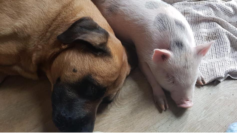 Vegan Family Who Rescued Piglet From Slaughter Risk Losing Council House