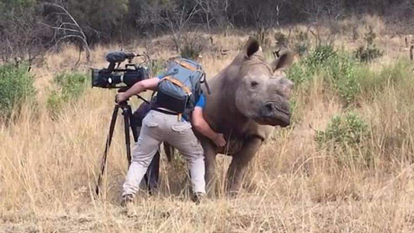 Rhino Approaches Cameraman And... Asks For A Belly Rub