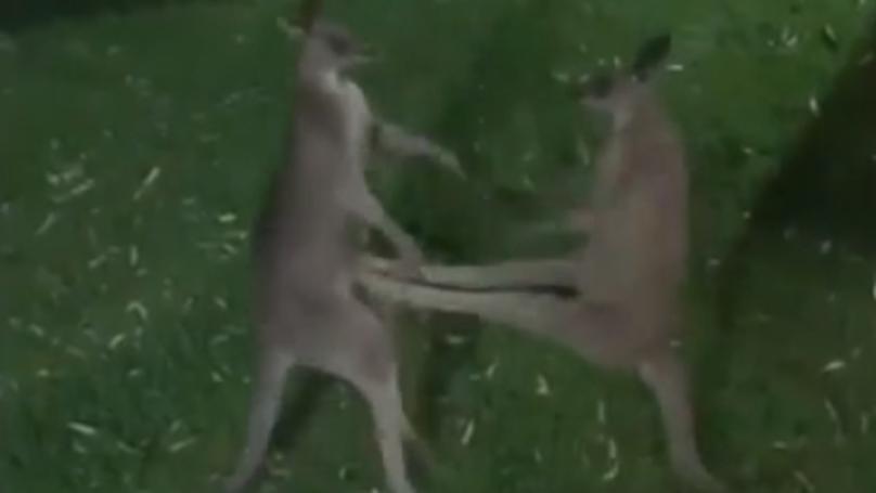 Aussie Bloke Films Kangaroos Brawling In His Yard