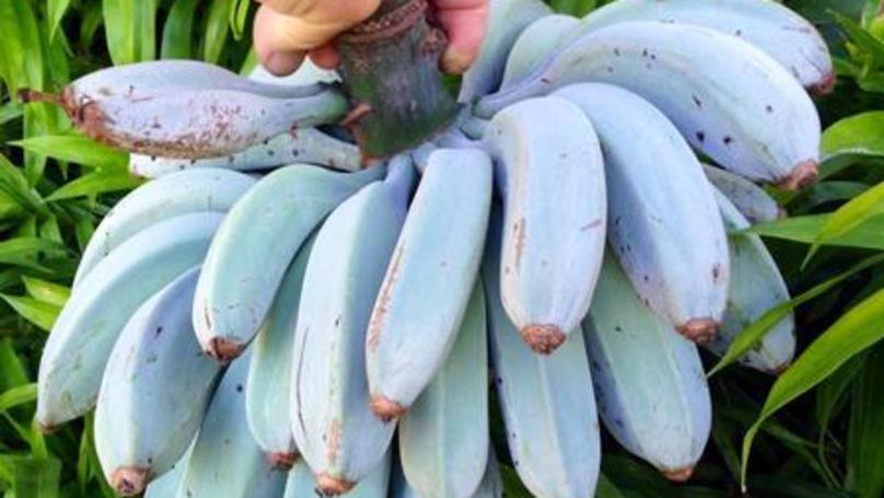 These Blue Java Bananas Taste Like Vanilla Ice Cream