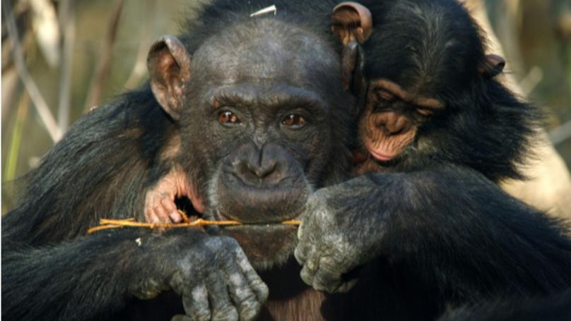 David Attenborough's Dynasties Had Viewers In Tears Last Night