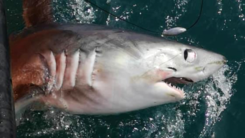 Gigantic 21-Stone Shark Caught By Fisherman Off The Coast Of Britain