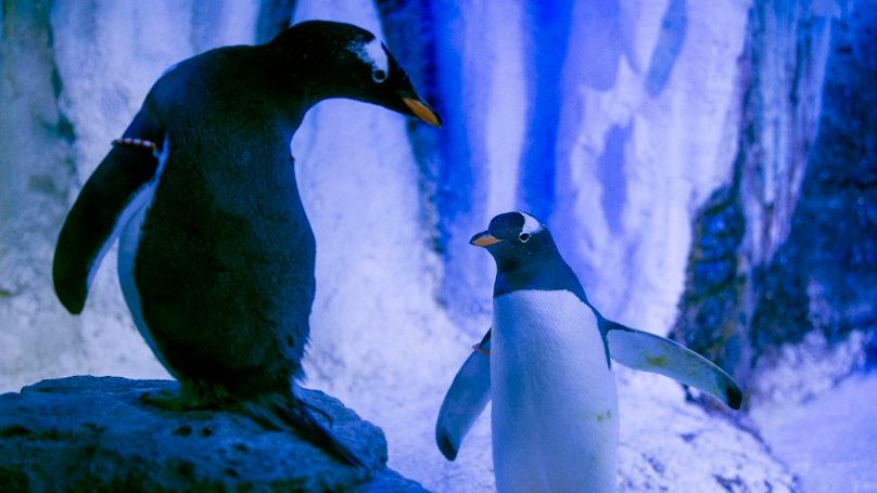 Video Clip Of Penguin Couple 'Holding Hands' Goes Viral