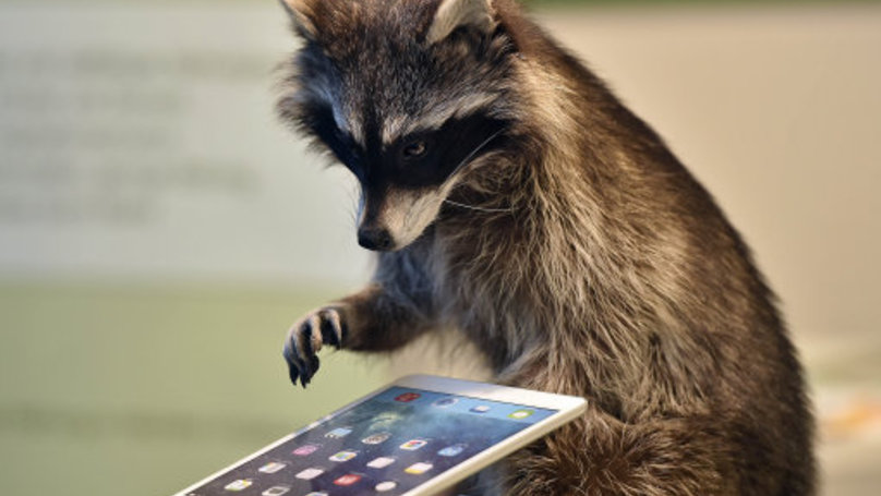 This Raccoon Related Banter Is So Banterous It Could Break The Internet