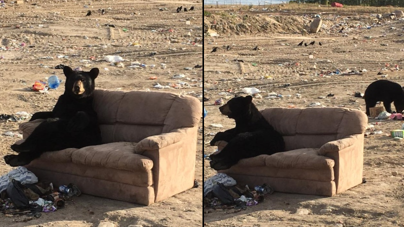 Bear Sned Kicking Fat Chills On A Sofa At Garbage Dump