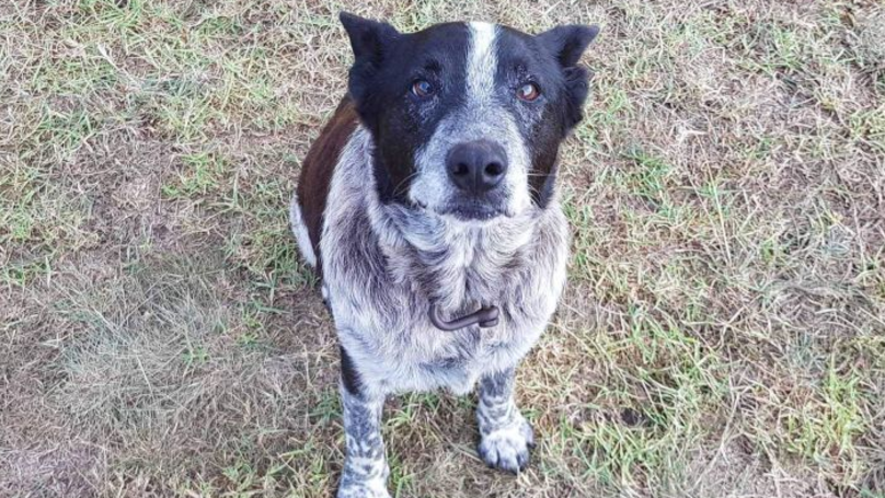 Dog Stays With Three-Year-Old Lost In Australian Bush Overnight