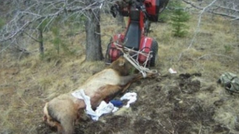 Hunter Gets Impaled On The Antlers Of An Elk He Just Shot