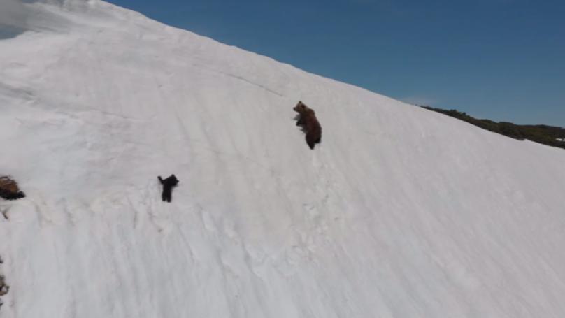 Baby Bear Struggles To Follow Mum Up Snowy Mountain