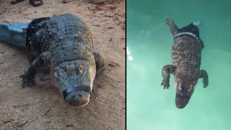 Alligator Without Tail Gets New 3D Printed Prosthetic One