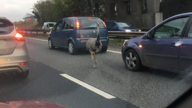 Escaped Ostrich Causes Miles Of Tailbacks After Wandering Onto Busy Road