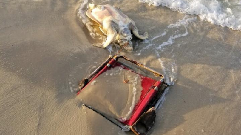 ​Endangered Sea Turtle Found Dead On Beach With Chair Around Neck