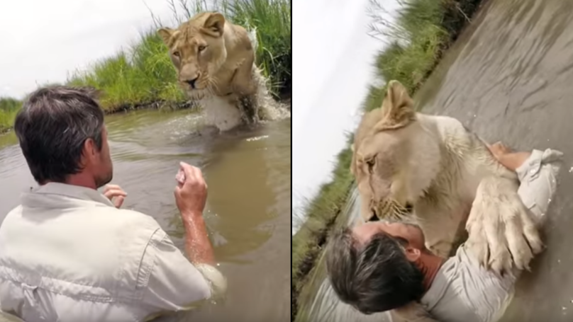 GoPro Captures Lioness Leaping Into The Arms Of The Man Who Rescued Her