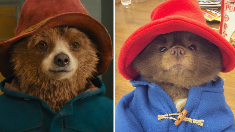 This Pomeranian Pooch Looks Exactly Like Paddington Bear
