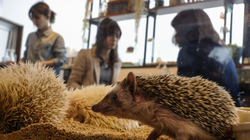 There Is A New Hedgehog Cafe In Tokyo And We Need To Go Right Now