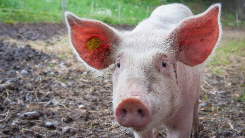 Escaped Pig Lured Back Home Using Trail Of Doritos