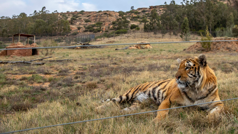Tiger Rescued From 'World's Worst Zoo' Is Making A Good Recovery