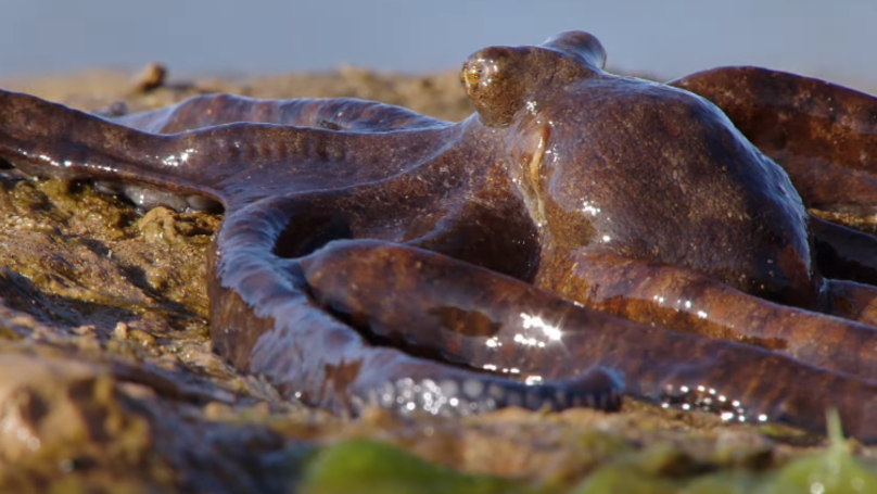 Incredible Footage Of An Octopus Walking On Dry Land Will Give You Nightmares