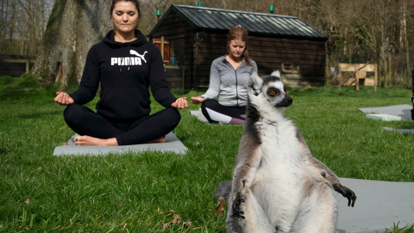 British Hotel Launches Outdoor Lemur Yoga To Help Beat Stress