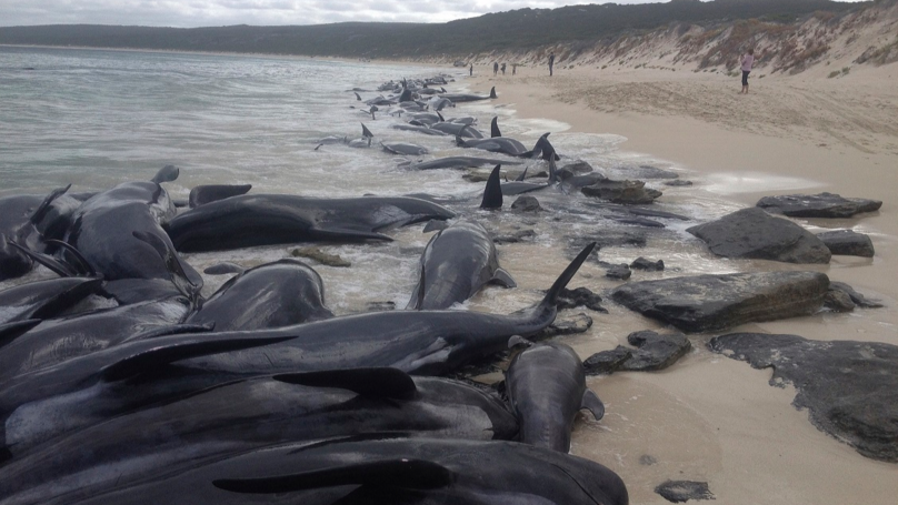 Over 100 Pilot Whales Dead In Mass Stranding In Western Australia