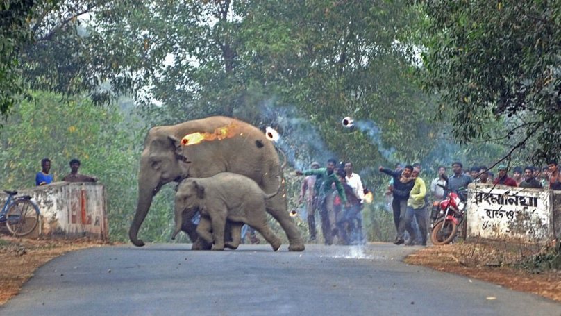 Photos Show Humans Attacking Elephants With Firebombs And Stones In India