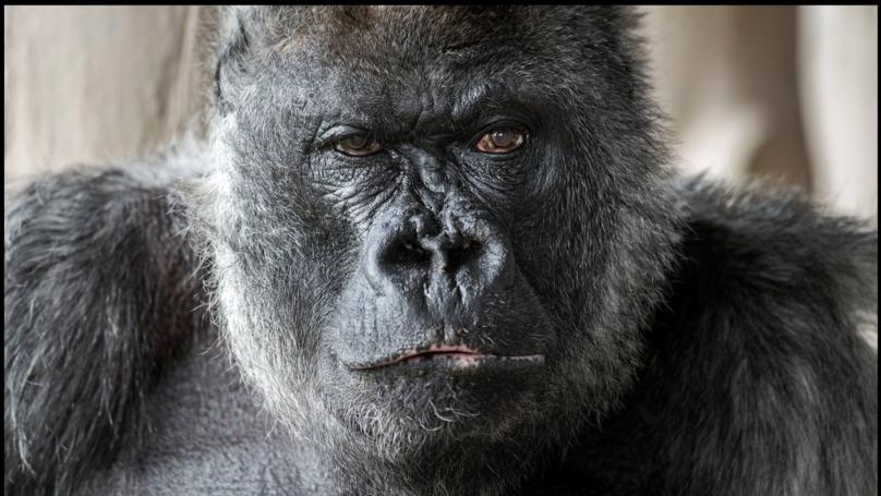 Longleat Safari Park Gorilla Nico Dies At 56