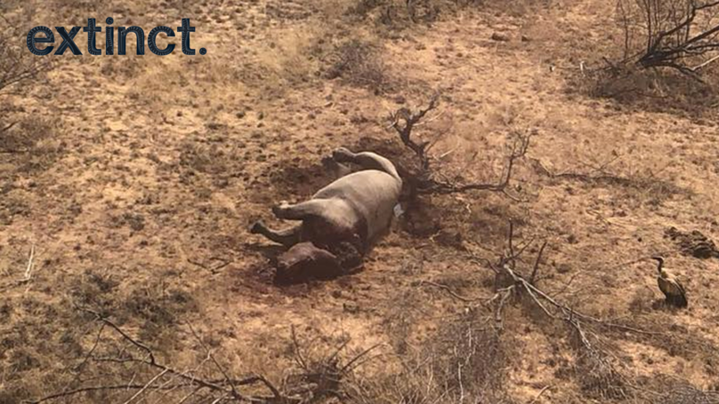 Rhino Cow Shot Dead In South Africa Discovered By Anti-Poaching Aircraft