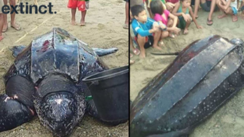 Wounded Rare Giant Leatherback Turtle Treated After Getting Caught In Fisherman's Net