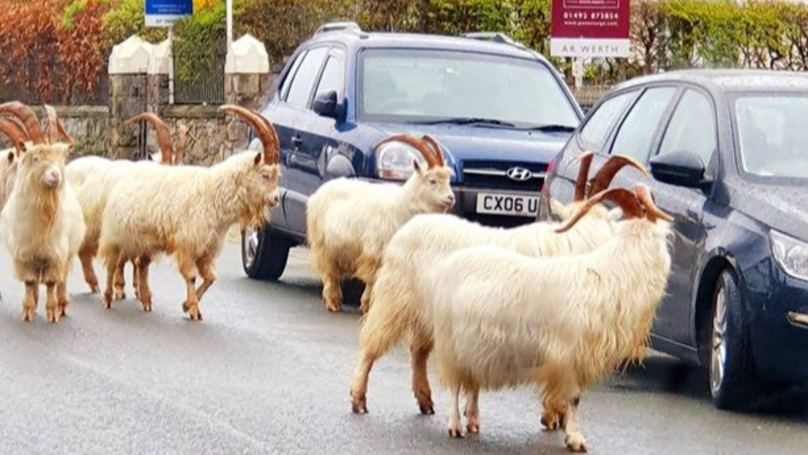 Wild Goats Take Over Welsh Town, Wreaking Havoc For A Second Time