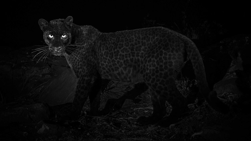 Black Leopard Photographed In Africa For First Time In Nearly 100 Years
