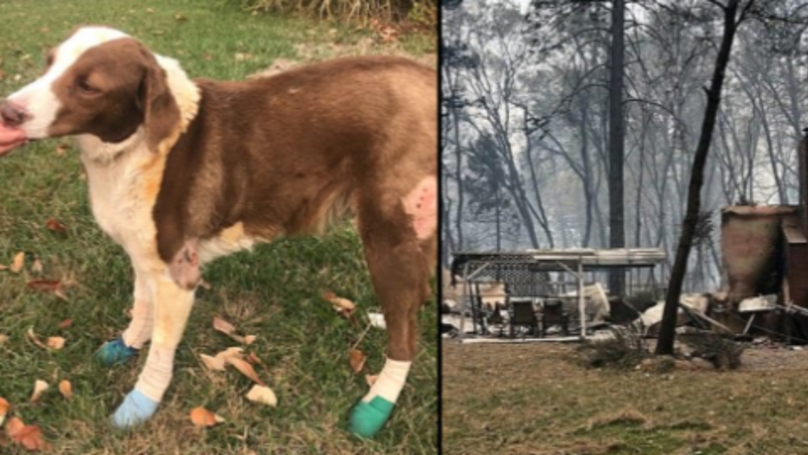 Dog Badly-Burned After Being Abandoned During Wildfire Found Guarding Neighbour's Home