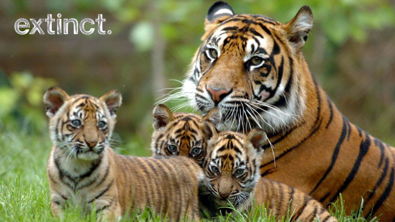 Tigers Could Be Extinct Within A Decade, Says Animal Charity