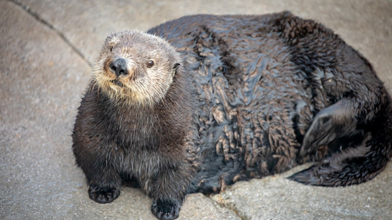 Aquarium Apologises For Offensively Calling Otter 'Thicc'