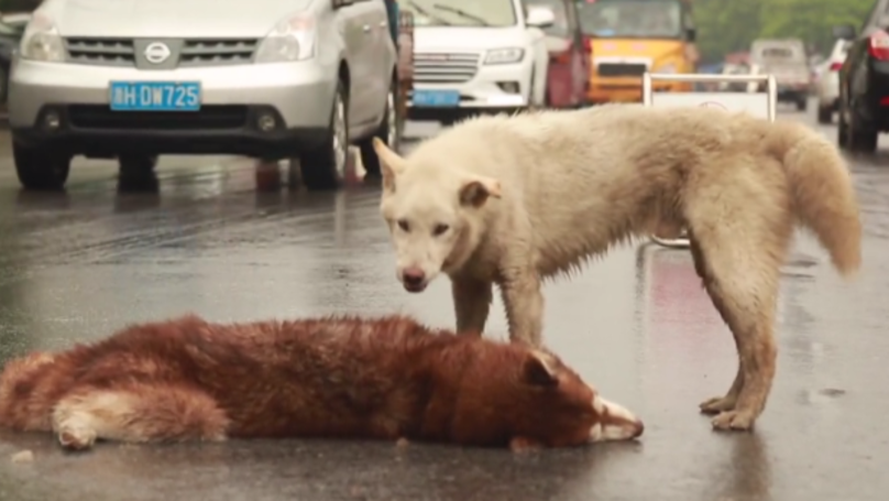 Loyal Dog Tries To Revive Friend After It Was Hit By A Car