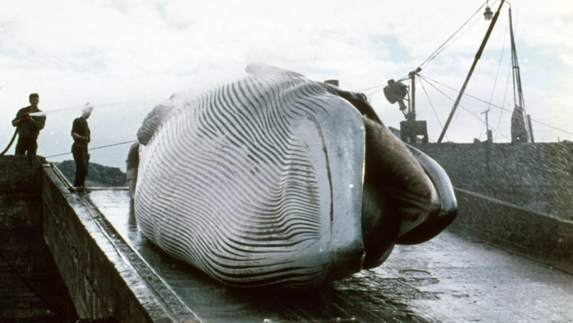 Japan Accused Of Slaughtering 122 Pregnant Whales This Year