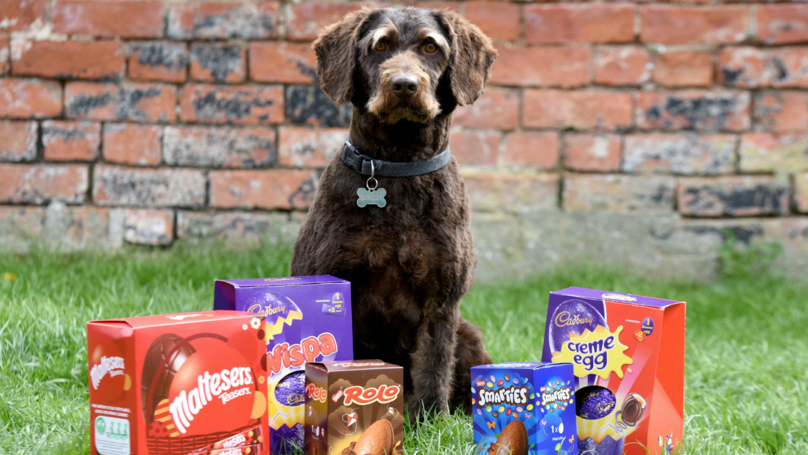 Greedy Labradoodle Rushed To Vets After Eating Seven Chocolate Easter Eggs