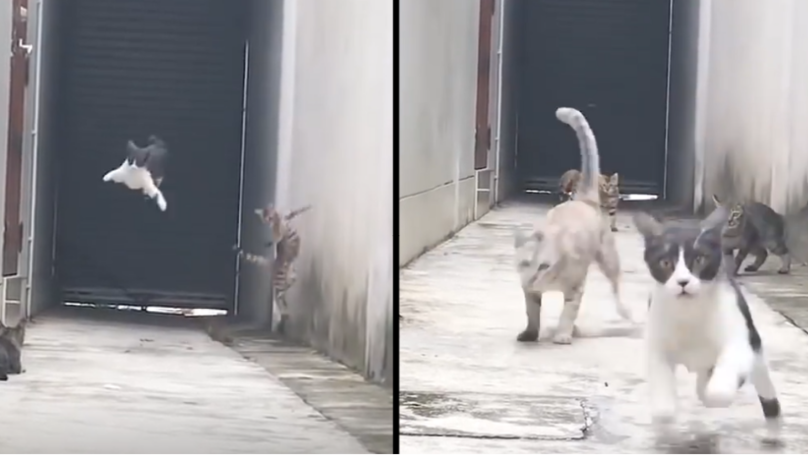 Cat Dodges Three Cats Who Tried To Catch Him In Hilarious Great Escape