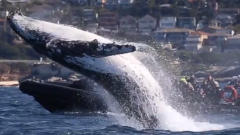 Huge Humpback Whale Leaps Out Of Water Leaving Tourists Stunned