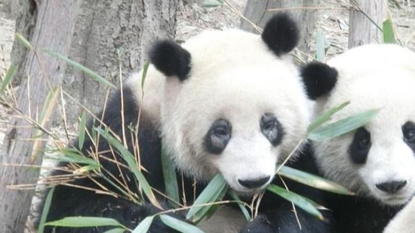 Pandas Are So Ill Their Black Eye Circles Are Turning White