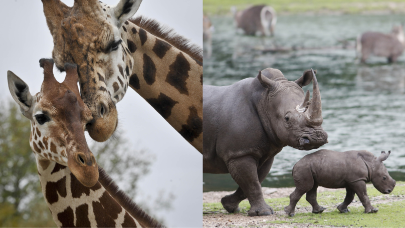Chester Zoo Needs A Keeper To Look After The Giraffes And Rhinos