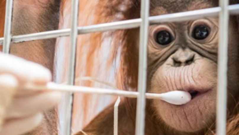Orangutan's Paternity Test Proves Only Male In The Enclosure Isn't His Dad