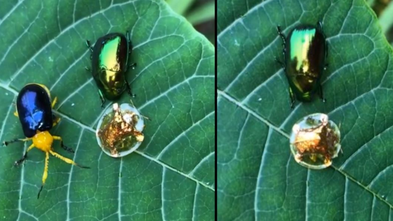 Mesmerising Golden Tortoise Beetle Looks Like The Golden Snitch