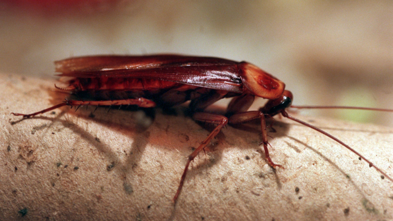 Cockroaches Have Become Even Harder To Kill, Study Finds